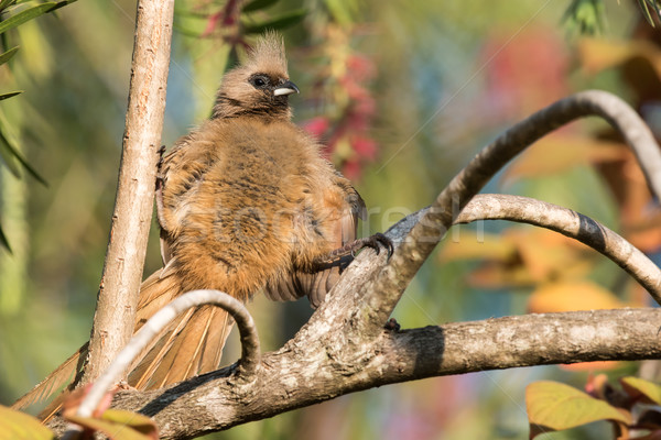 Speckled mousebird (Colius striatus) straddling 2 branches Stock photo © davemontreuil