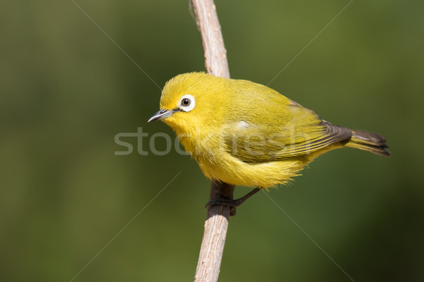 African yellow white-eye (Zosterops senegalensis) perched on a b Stock photo © davemontreuil