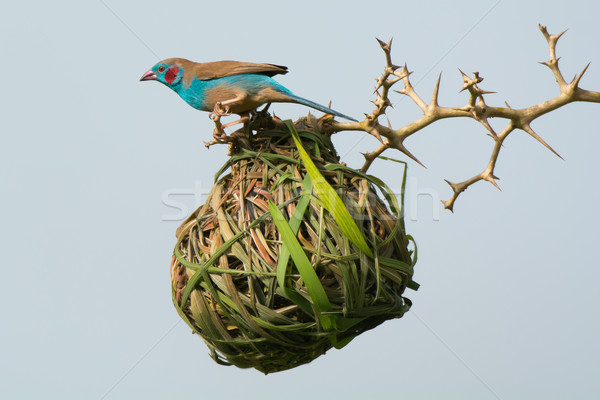 Cordon-Bleu investigates weaver nest Stock photo © davemontreuil