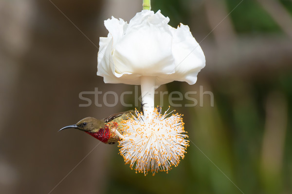 Young Scarlet-Chested Sunbird on Baobab Flower Stock photo © davemontreuil