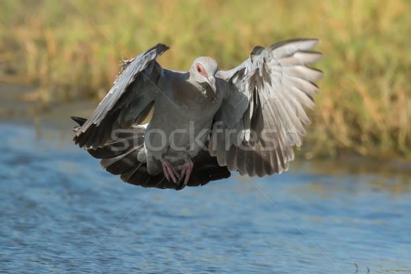 Genç güvercin Gine iniş su delik Stok fotoğraf © davemontreuil