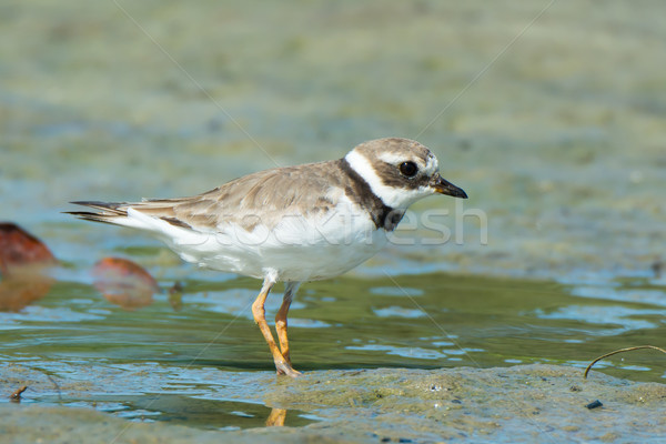 Ringed Plover on mudflats Stock photo © davemontreuil