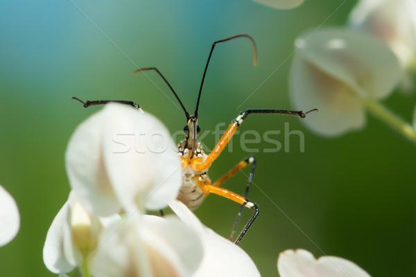 Bloem moordenaar bug wachten buit afrika Stockfoto © davemontreuil