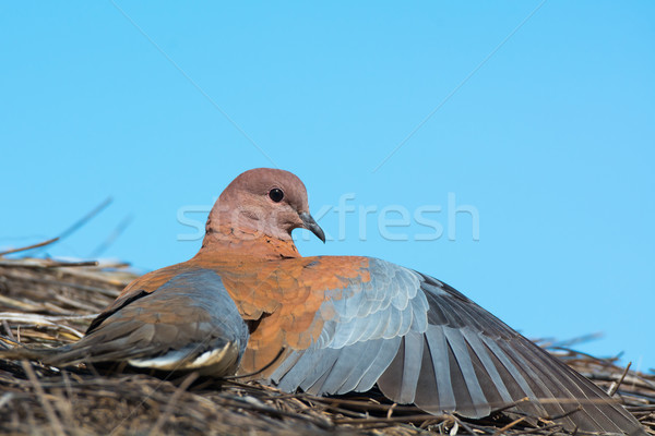 Laughing Dove with one wing outstretched Stock photo © davemontreuil