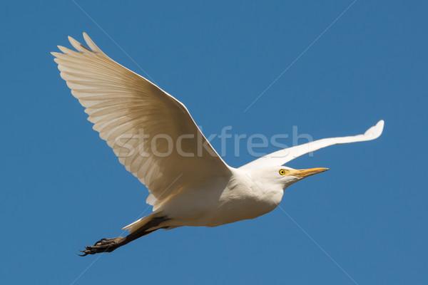 Stockfoto: Vee · vlucht · vliegen · verleden · Blauw · vogel