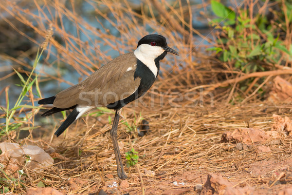 Spur-Winged Plover (Vanellus Spinosus) in profile Stock photo © davemontreuil