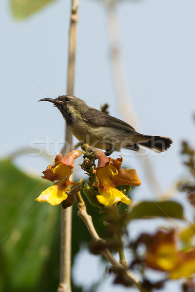 Young Beautiful Sunbird perched on yellow and brown flowers Stock photo © davemontreuil