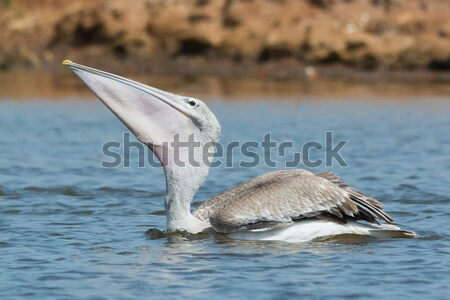 Pink-backed Pelican swallowing and a lucky little fish Stock photo © davemontreuil