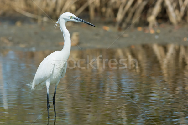A white Western Reef Heron (Egretta gularis) standing in the man Stock photo © davemontreuil
