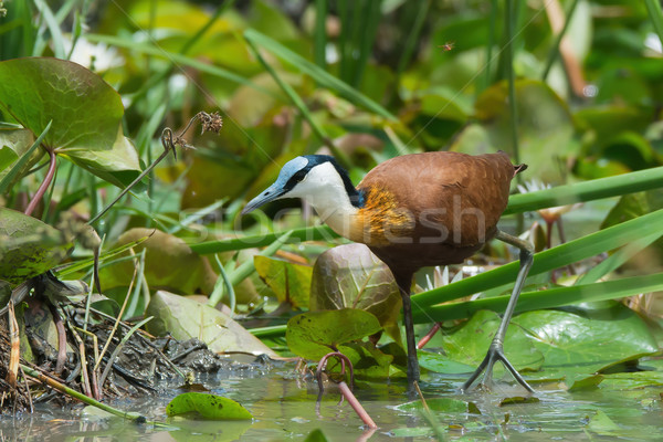 An African Jacana (Actophilornis africanus) wading through lily  Stock photo © davemontreuil
