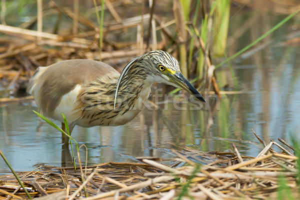 Squacco Heron (Ardeola ralloides) stalking an insect Stock photo © davemontreuil