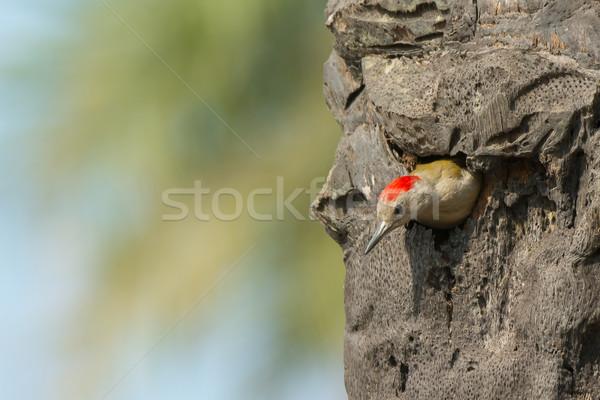 Grey Woodpecker (Mesopicos goertae) Stock photo © davemontreuil