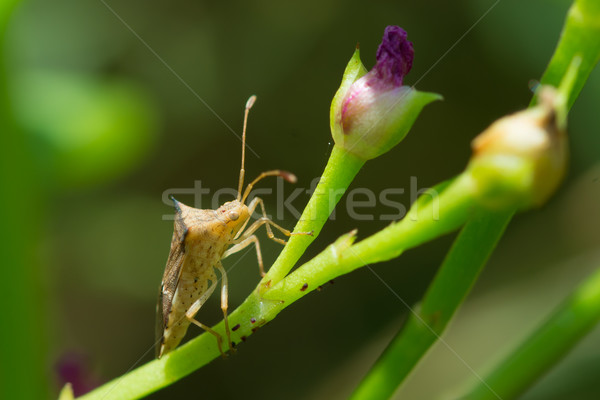 Stink Bug from West Africa Stock photo © davemontreuil
