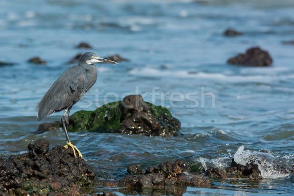 Westerse reiger rock water oceaan Blauw Stockfoto © davemontreuil