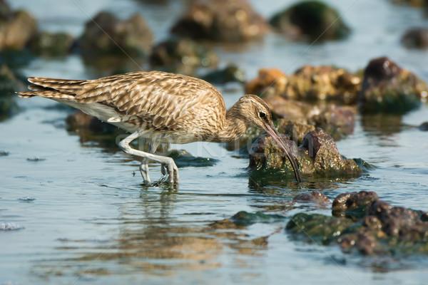 Avcılık sığ su deniz okyanus kuş Stok fotoğraf © davemontreuil