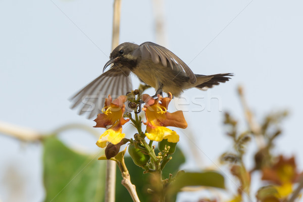 Young Beautiful Sunbird begging for food by shaking its wings Stock photo © davemontreuil