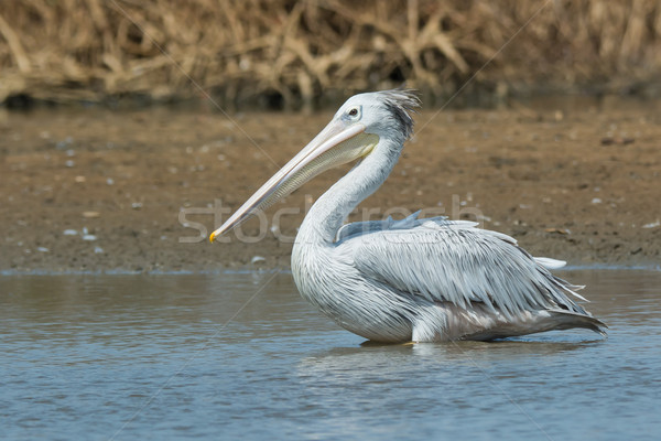 Pink-backed Pelican standing in the mangroves Stock photo © davemontreuil
