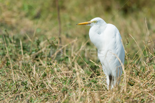 Intermediate Egret standing in dried grasses Stock photo © davemontreuil