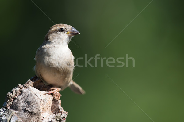 House Sparrow (Passer domesticus) perched on a log Stock photo © davemontreuil
