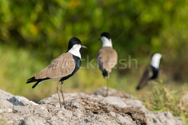 Spur-Winged Plover (Vanellus Spinosus) Stock photo © davemontreuil
