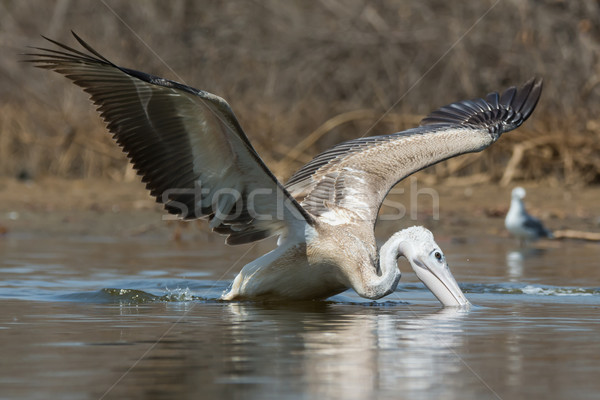 Pink-backed Pelican in making a lunge for fish Stock photo © davemontreuil