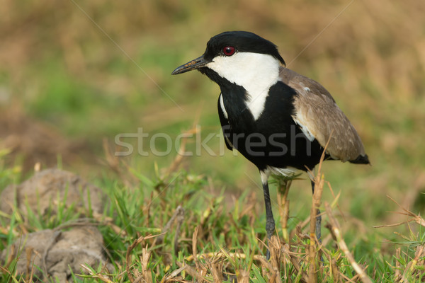 Spur-Winged Lapwing (Vanellus Spinosus) in a grassy field Stock photo © davemontreuil