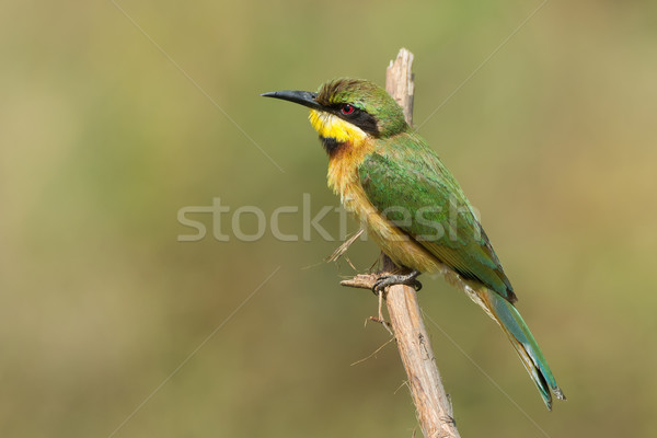 A Little-Bee Eater (Merops pusillus) perched on a stick Stock photo © davemontreuil
