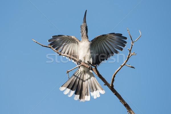 African Grey Hornbill (Tockus nasutus) male displaying on a tree Stock photo © davemontreuil
