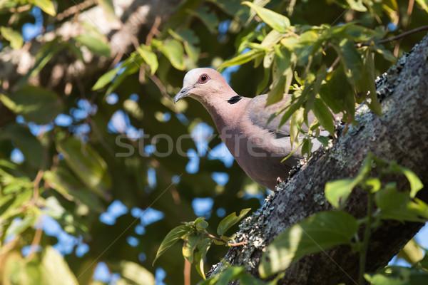 Galamb fa madár portré Afrika állat Stock fotó © davemontreuil