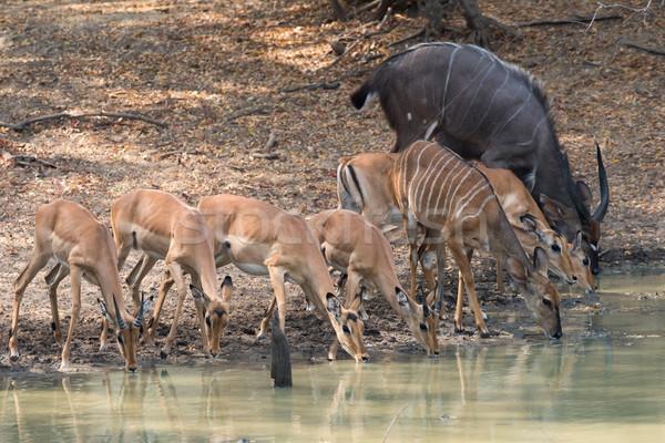 Mixed group of Impala (Aepyceros melampus) and (Nyala (Tragelaph Stock photo © davemontreuil