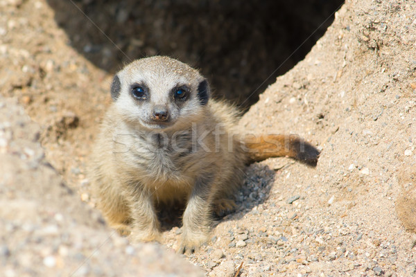 Meerkat Baby Stock photo © davemontreuil