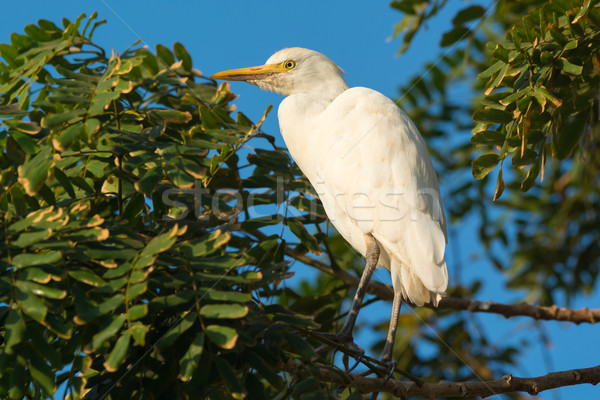 Cattle Egret roosting in a tree Stock photo © davemontreuil