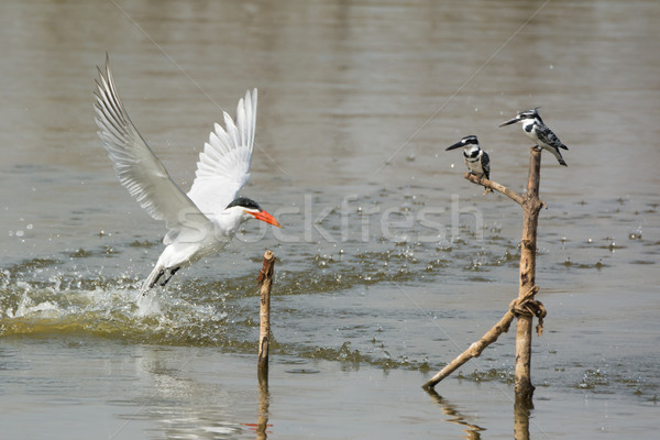 Two Pied Kingfishers watch as Caspian Tern emerges from the wate Stock photo © davemontreuil