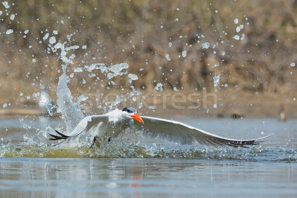 Elvesz levegő alámerülés víz madár Afrika Stock fotó © davemontreuil