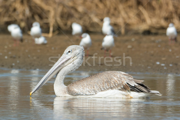 Pink-backed Pelican floating passed grey-headed gulls Stock photo © davemontreuil
