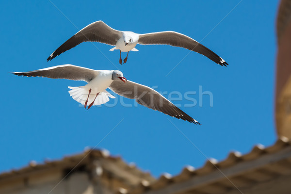 Young Grey-Headed Gull following an adult in flight Stock photo © davemontreuil