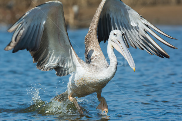 Pink-backed Pelican making a lunge while fishing Stock photo © davemontreuil