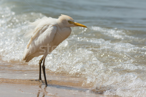 Cattle Egret standing in the surf Stock photo © davemontreuil