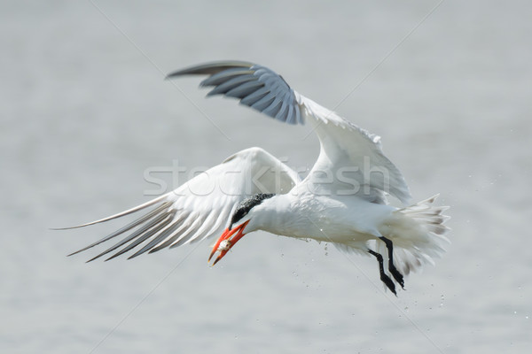 A dripping wet Caspian Tern in flight with a fish Stock photo © davemontreuil