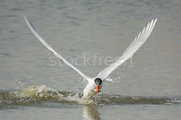 Caspian Tern resurfacing with fish Stock photo © davemontreuil