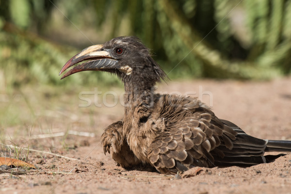 A female African Grey Hornbill (Tockus nasutus) looking up from  Stock photo © davemontreuil