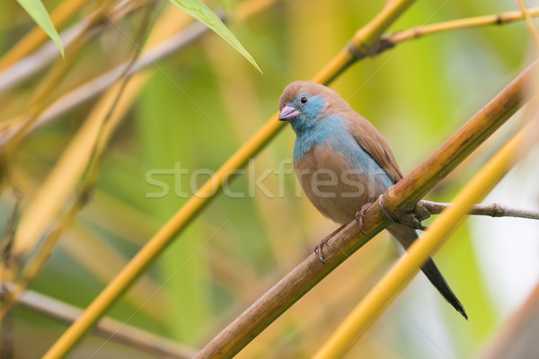 A female Red-Cheeked Cordon Bleu (Uraeginthus bengalus) perched  Stock photo © davemontreuil