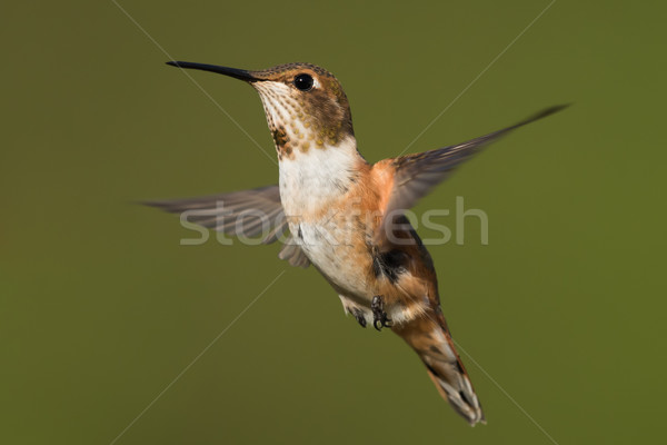 A female Rufous Hummingbird (Selasphorus rufus) hovering in flig Stock photo © davemontreuil