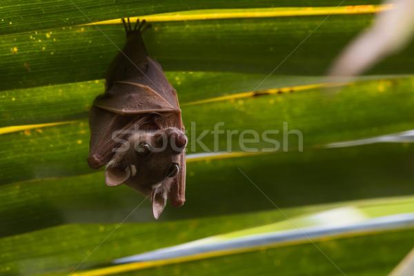 Peter's Dwarf Epauletted Fruit Bat (Micropteropus pusillus) hang Stock photo © davemontreuil