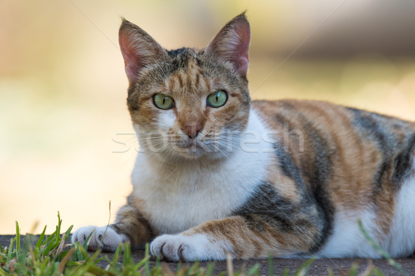 Tri colored house cat staring directly at the viewer Stock photo © davemontreuil