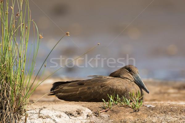сонный берега птица красивой странно Сток-фото © davemontreuil