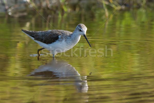 Marsh Sandpiper wading Stock photo © davemontreuil