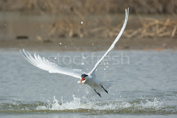Caspian Tern leaving the water with a fish in its mouth Stock photo © davemontreuil