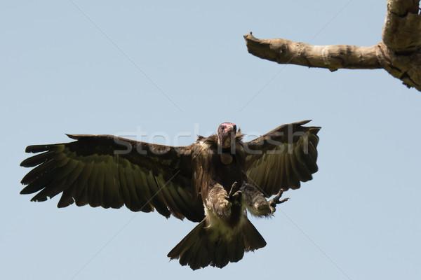 Kapucnis dögkeselyű leszállás ág közvetlenül fölött Stock fotó © davemontreuil
