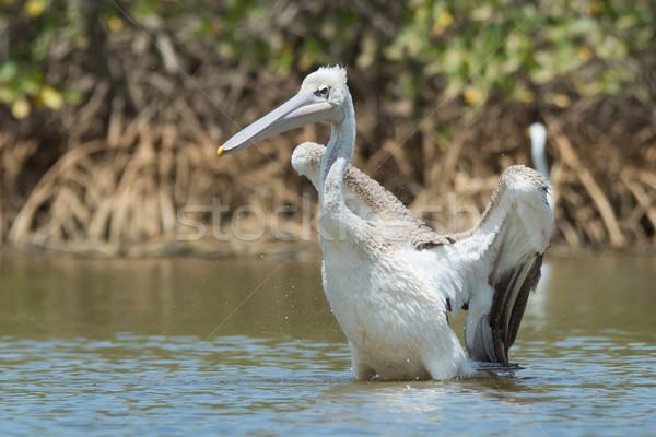 Pink-backed Pelican ready to lunge Stock photo © davemontreuil